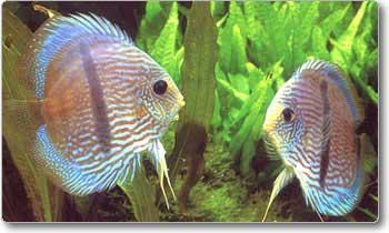 O «Symphysodon aequifasciatus» exige uma muito boa qualidade da água