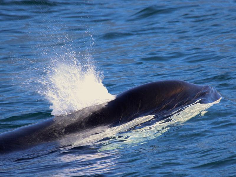 As estratégias de caça da «Orcinus orca» revelam uma invulgar inteligência