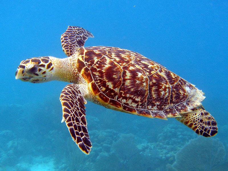 Hoje existem menos 15 milhões de tartarugas-verdes do que há 300 anos