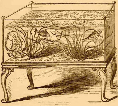 Um aquário de 1850 com Vallisneria spiralis, Egeria densa e peixes de água fria