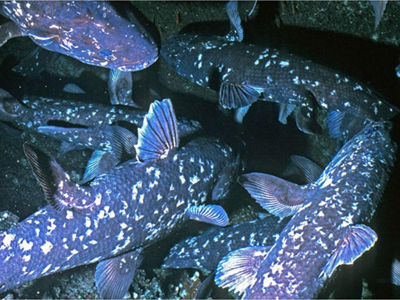 Os celacantos habitam em cavidades onde quase não chega a luz
