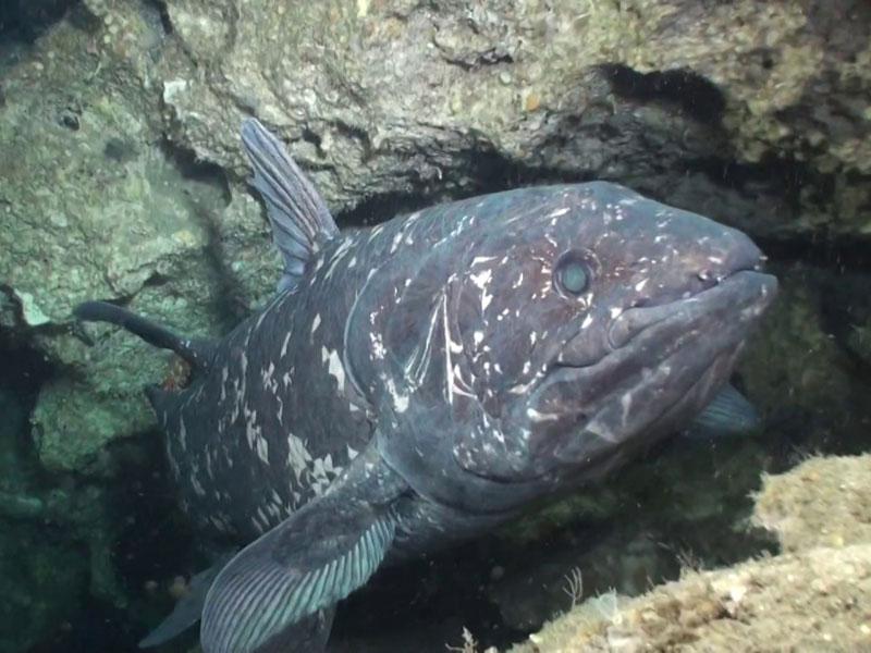 Os celacantos vivem em grupo e abaixo dos 100 metros de profundidade