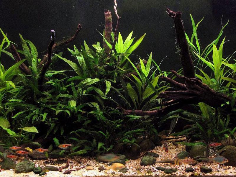 Em aquários altos as plantas podem ficar surpreendentemente grandes
